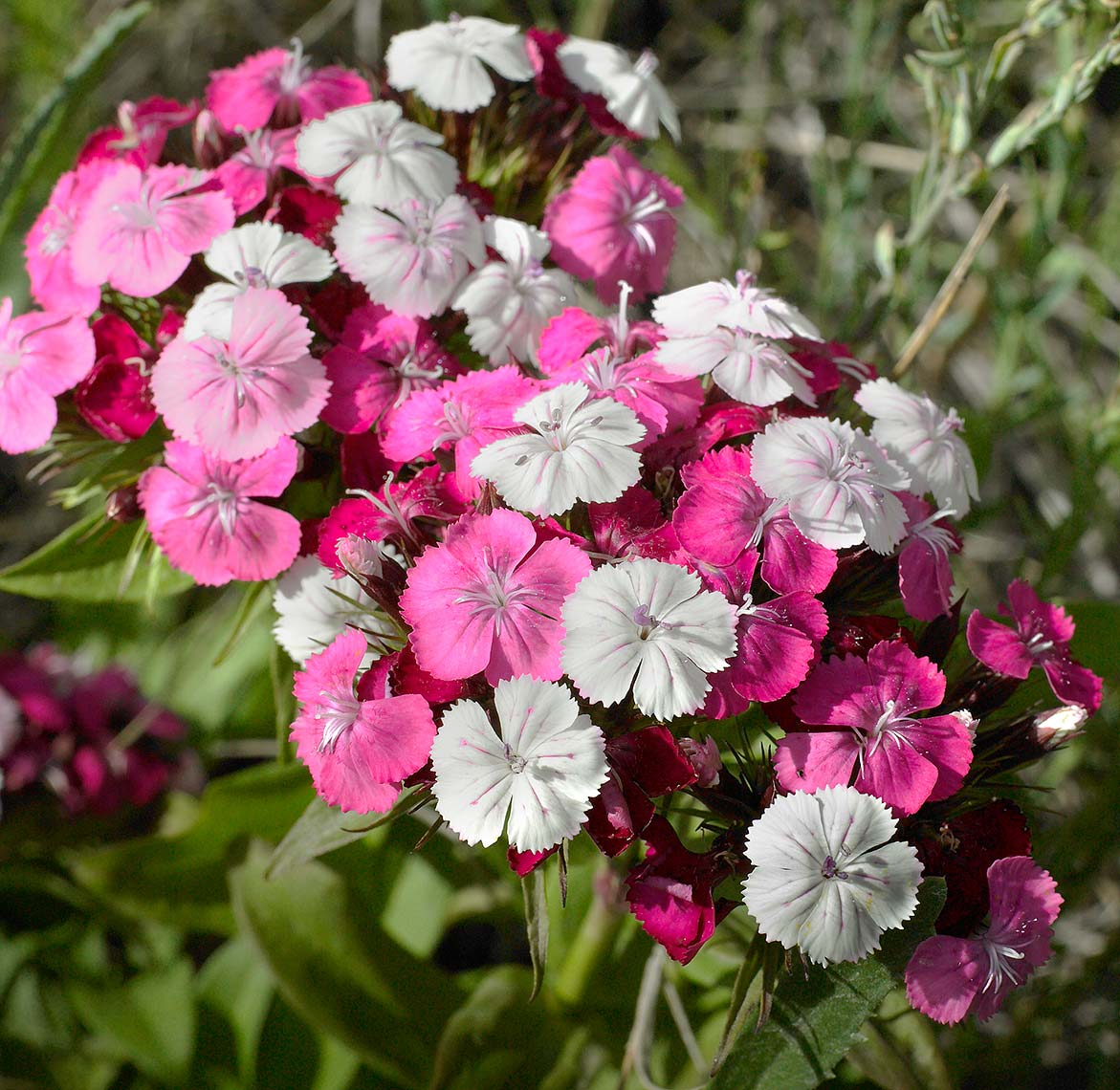 Rocky Mountain Phlox | Maylone Architectural Photo